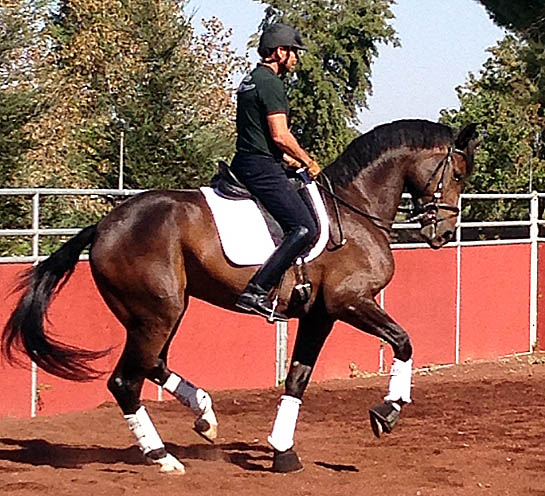 Rosamunde, a six-year-old Rhinelander mare, bought by Akiko Yamazaki for Steffen Peters to train and compete as a successor to Legolas. Photo: Courtesy Steffen Peters