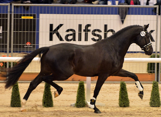 Governor-STR, the Totilas son named reserve KWPN champion dressage stallion. © 2014 Roz Neave/The Horse Magazine