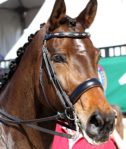 Rosamunde leaving the cometition arena wearing the stunning American flag brow band crreated by Robin Brown of Sarasota, Florida and presented to Steffen Peters. © 2015 Ken Braddick/dressage-news.com