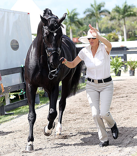Ashley Holzer trotting Dressed in Black in the veterinary inspection for the Adequan Global Dressage Festival where the Canadian rider will compete the stallion for only their second international Big Tour start, almost seven months since their Grand Prix debut. © 2015 Ken Braddick/dressage-news.com