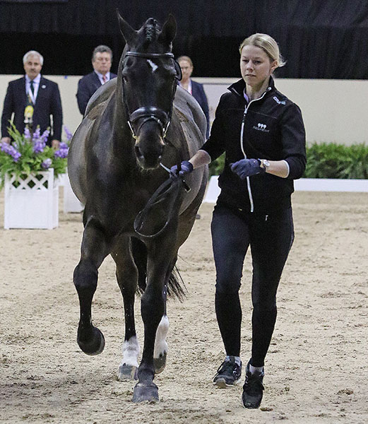 Agnete Kirk Thinggaard of Denmark has been competing JoJo AZ at international level for the past year and is appearing in their fiest World Cup Final. © 2015 Ken Braddick/dressage-news.com