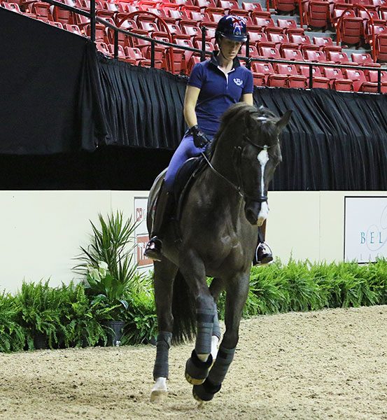Valegro being worked lightly by Charlotte Dujardin in their first ride in the Thomas & Mack Center where they will defend their World Cup title. © 2015 Ken Braddick/dressage-news.com