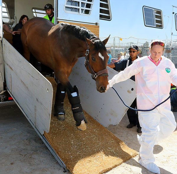 El Santo NRW arriving in Las Vegas where he will be ridden by Germany's Isabell Werth at the World Cup Final. Isabell won the title in Las Vegas in 2007 on Warum Nicht. © 2015 Ken Braddick/dressage-news.com