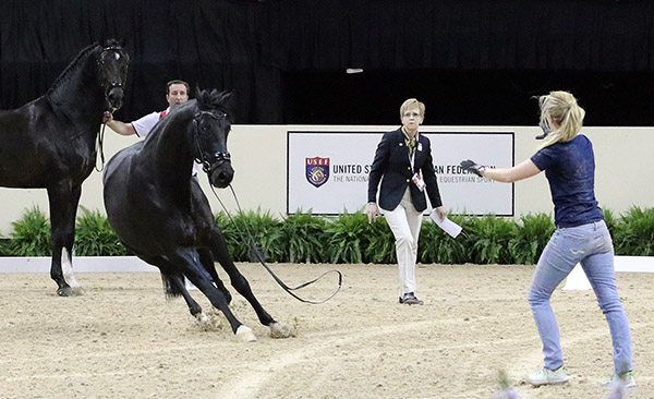 Morgan Barbançon got to her feet and helped corrall Painted Black. © 2015 Ken Braddick/dressage-news.com