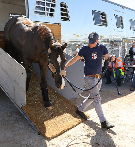 Valegro led by Alan Davies arriving at the Thomas & Mack Center for the World Cup Final after flying from Europe. ©2015 Ken Braddick/dressage-news.com