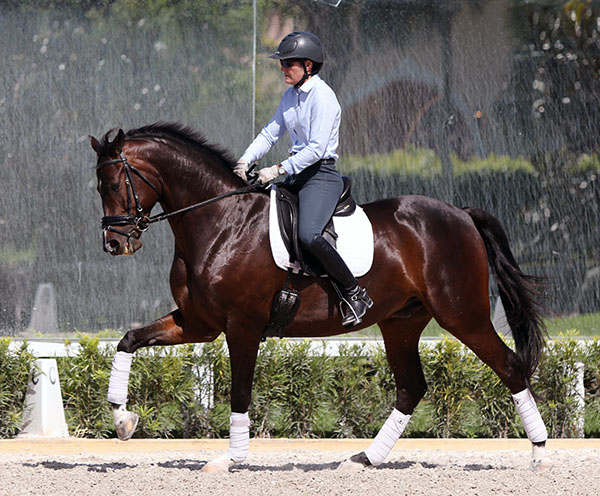 Counter canter, clearly showing placement of the outside leg on the short side. When I turn onto the diagonal, THIS is the leg that George wants brought close to the girth, before asking for a change. Note the foot and  stirrup iron correctly placed, yes, it is my left foot. © 2015 Ken Braddick/dressage-news.com
