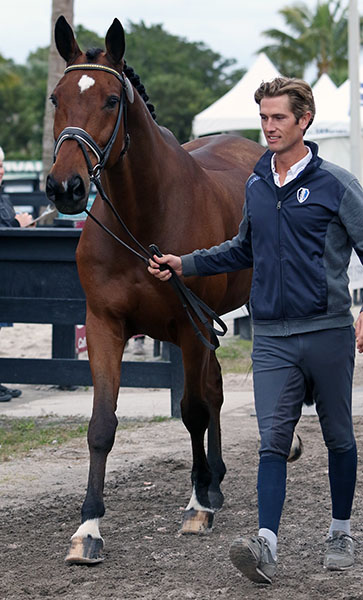 Canada's Chris Von Martels leading Divertimentoto the veterinary check for the pair's first CDI, the Adequan Global Dressage Festival 3*. © 2016 Ken Braddick/dressage-news.com
