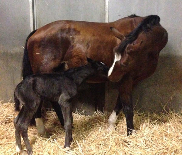 Rafalca with her newborn filly.